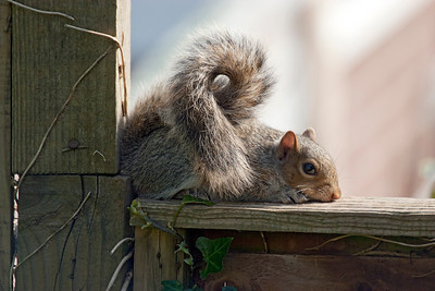 Squirrel on back garden fence.