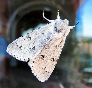White Ermine Moth. July 2013.