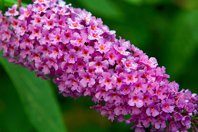 Buddliea flowers