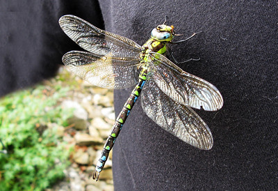Male Southern Hawker Dragonfly. Bristol.