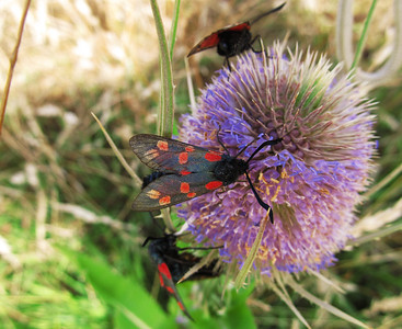Five-spot Burnet. Sand Point. 30th July 2013.