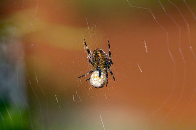Spider with captured Ladybird.