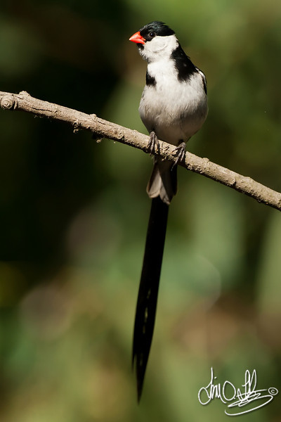 Pin-tailed Whydah
