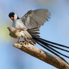 Pin-tailed Whydah's mating