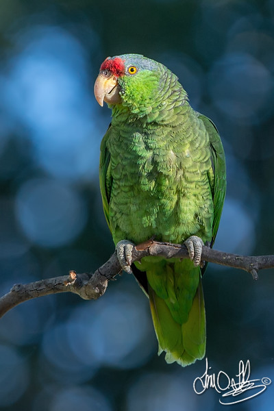 Lilac-crowned Parrot