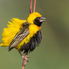 Yellow-crowned Bishop displaying for females