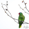 Violet-crowned Parrot