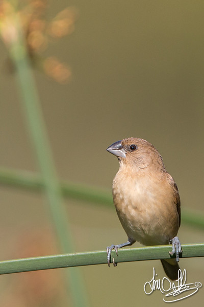 Scaly-breasted Munia juvenile