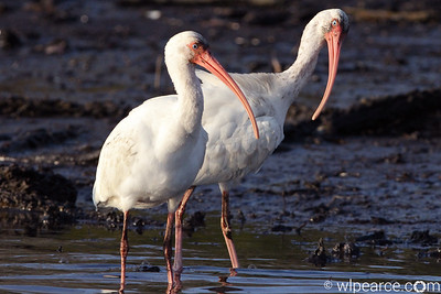 """You didn't get me anything for Valentines day?!!""...   White Ibis.  Pottsburg Creek."