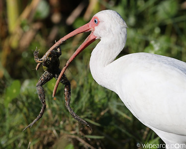Jackpot!  I'm gonna stuff this down and then go take a nap for the rest of the day.  American White Ibis.  Viera Wetlands.