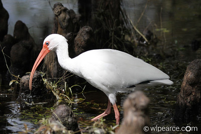 American White Ibis in the knees in the Hillsborough River, Tampa, FL
