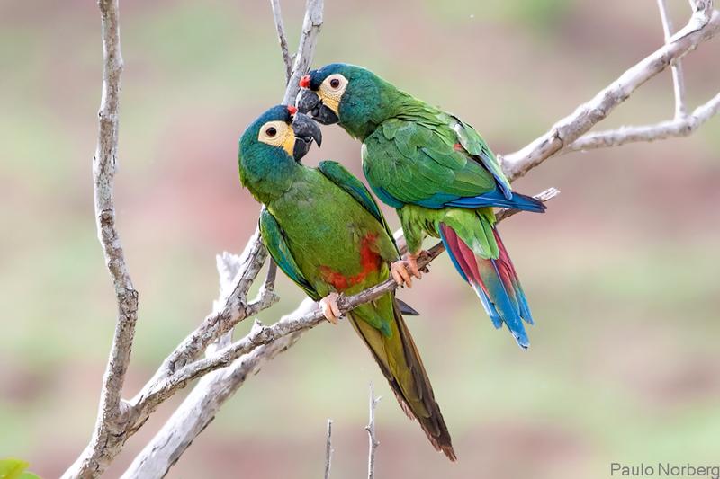 Primolius maracana<br /> Maracanã-verdadeira<br /> Blue-winged Macaw<br /> Maracaná afeitado - Marakana