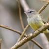 Myiopagis viridicata<br /> Guaracava-de crista-alaranjada<br /> Greenish Elaenia<br /> Fiofío corona dorada