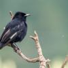 Knipolegus nigerrimus<br /> Maria-preta-de-garganta-vermelha<br /> Velvety Black-Tyrant<br /> Tirano negro aterciopelado