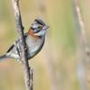 Zonotrichia capensis<br /> Tico-tico<br /> Rufous-collared Sparrow<br /> San Francisco - Chesyhasy