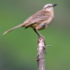 Mimus saturninus<br /> Sabiá-do-campo<br /> Chalk-browed Mockingbird<br /> Calandria - Guyra ñe'engatu