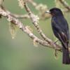 Knipolegus nigerrimus<br /> Maria-preta-de-garganta-vermelha fêmea<br /> Velvety Black-Tyrant female<br /> Tirano negro aterciopelado