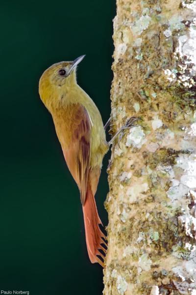 Sittasomus griseicapillus<br /> Arapaçu-verde<br /> Olivaceous Woodcreeper<br /> Tarefero - Arapasu pytâmi