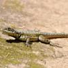 Tropidurus sp.<br /> Calango