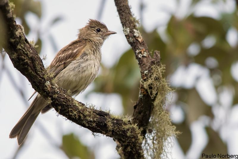 Elaenia parvirostris<br /> Guaracava-de-bico-curto<br /> Small-billed Elaenia<br /> Fiofío pico corto