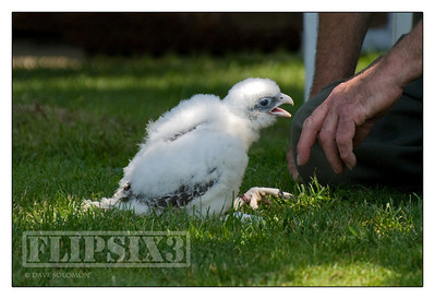 This two week old Gyr Falcon 'chick' was in the process of being imprinted to human contact.
