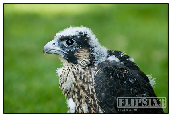 At five weeks old this young Peregrine is already starting to have the look of the true predator it will become - despite the fluff!