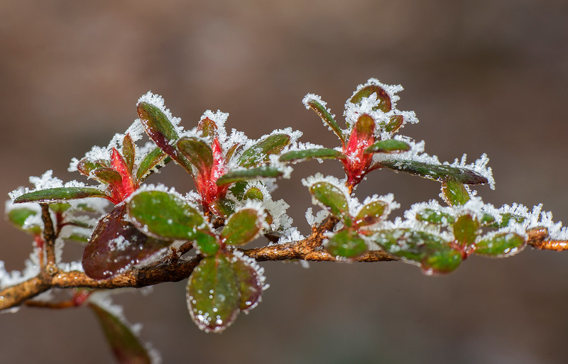 Ice on Azalea