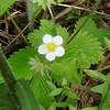 Woodland Strawberry Fragaria vesca