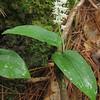 Canada Mayflower Maianthemum canadense