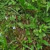 Common Yellow Wood Sorrel Oxalis stricta and Bluets Houstonia caerulea