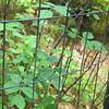 Prickly Rose Rosa acicularis