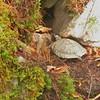 Wood Turtle Glyptemys insculpta