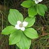 Bunchberry Cornus canadensis