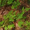 Appalachian Oak Fern Gymnocarpium appalachianum