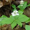 Canada Mayflower Maianthemum canadense and Bunchberry Cornus canadensis
