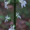 Pale-spike Lobelia Lobelia spicata