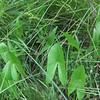 Duck Potato, Sagittaria latifolia