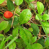 Partidge-berry Mitchella repens