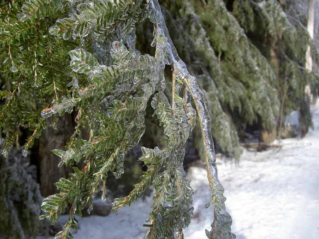 Hemlock encased in ice.