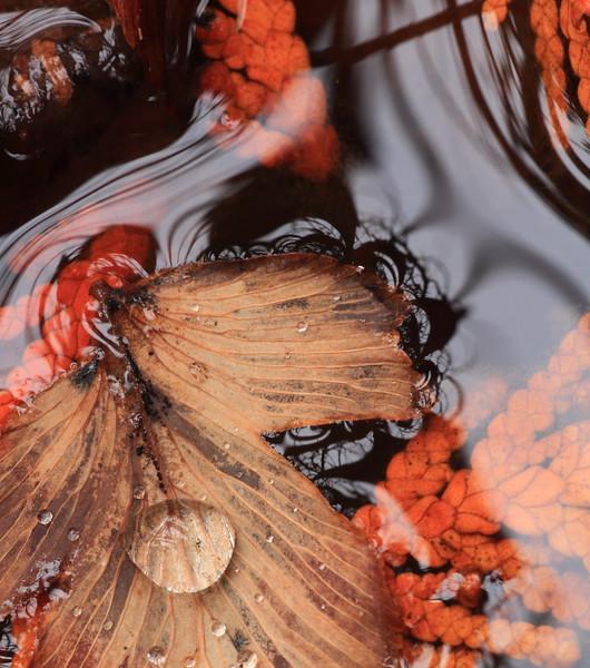 Leaf in water- Cedar Creek Interpretive Trail