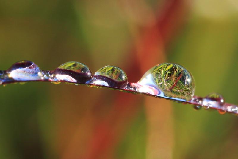 Dew on grass- Sherburne NWR