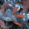 Ice encased leaves- Lake Winona