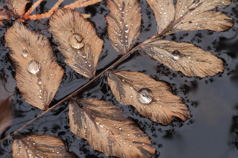 Dew covered leaves- Cedar Creek Interpretive Trail