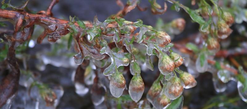 Icy plant- Memory Lake