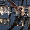 Icecicles- Crex Meadows WMA