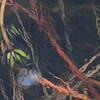 Aquatic vegetation under ice- Crex Meadows WMA