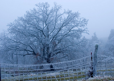 Icy fence and tree in the fog near Golden Eagle Ferry, IL