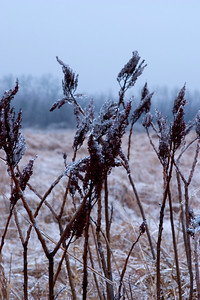 Ice on wild grasses near Pere Marquette State Park, IL