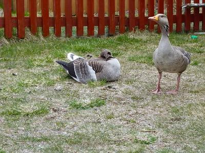 Graylag Goose, gosling, male