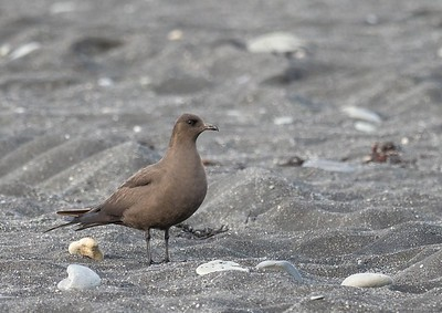 Dark phase Arctic Skua.